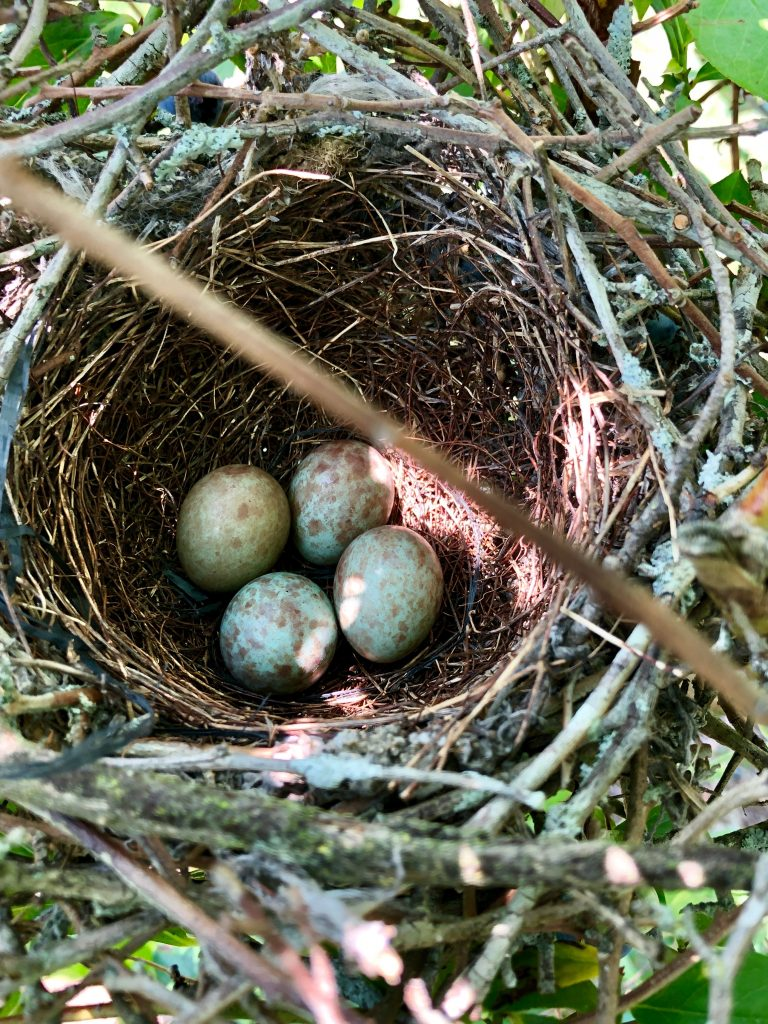 four eggs in a nest